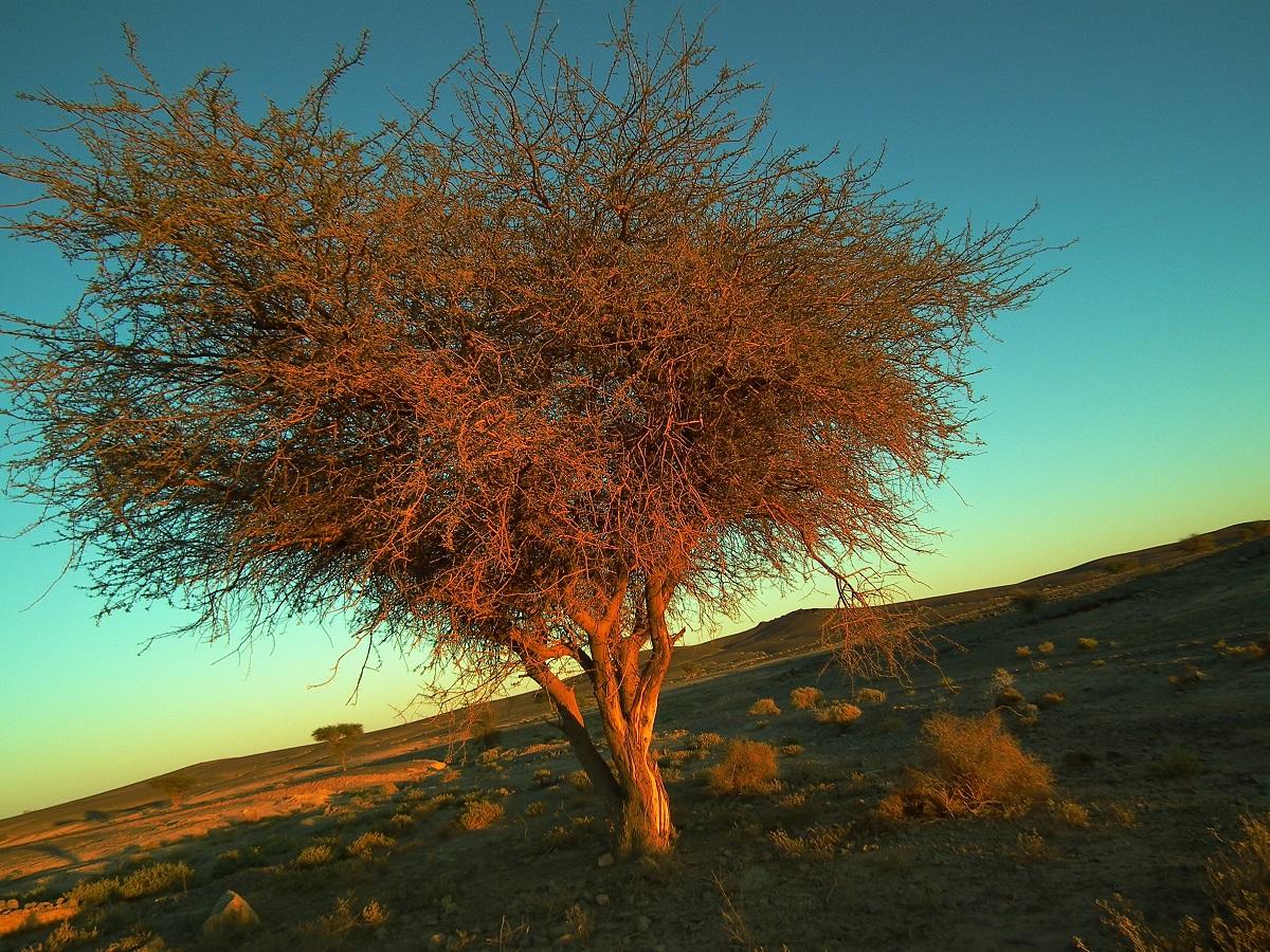 05.非洲大地標誌性的耐旱樹種:金合歡。