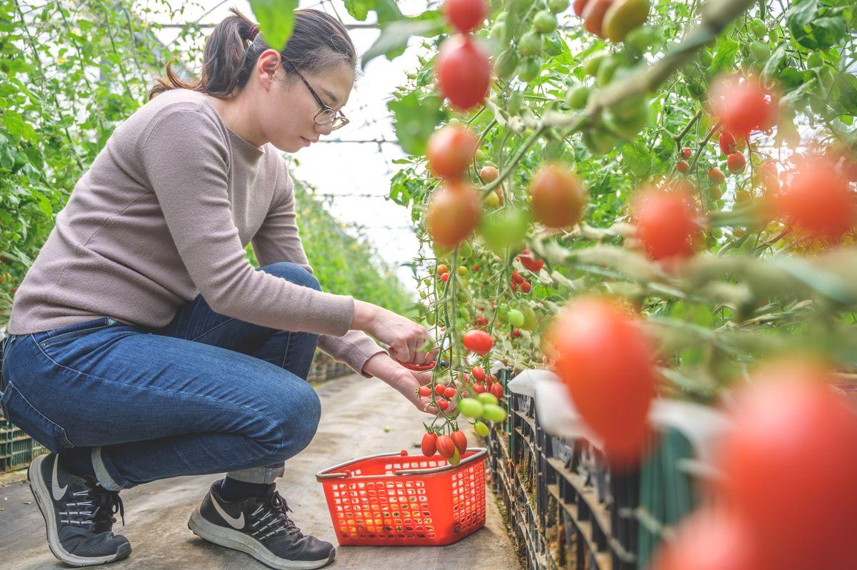 苗栗苑裡,採果體驗,番茄,親子