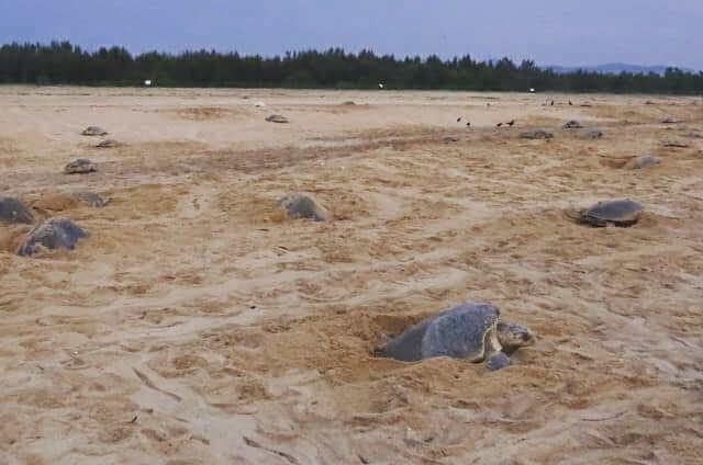 欖蠵龜,印度,海灘,產卵