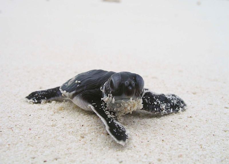 泰國,海龜,普吉島,環境生態