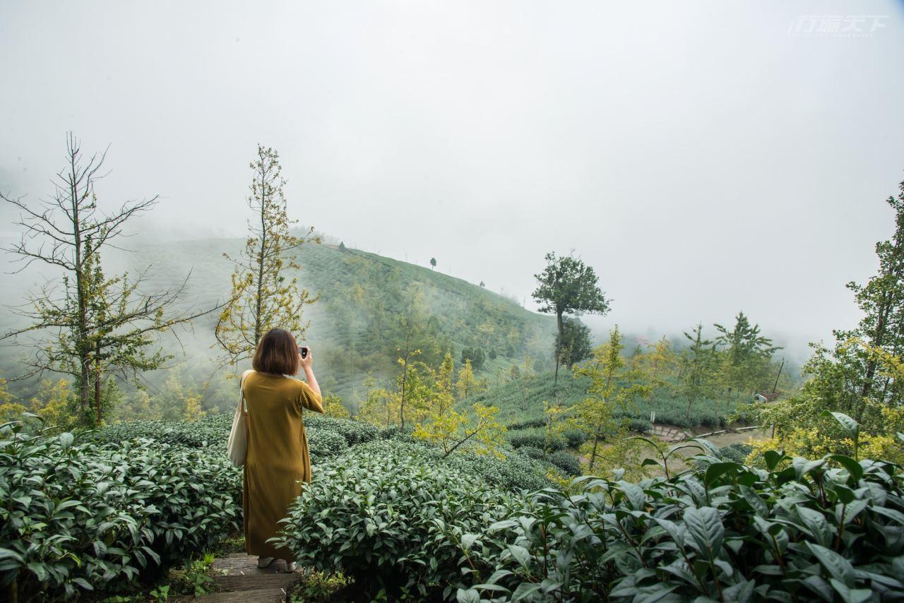 ▲大崙山觀光茶園如詩如畫的迷漫煙嵐。