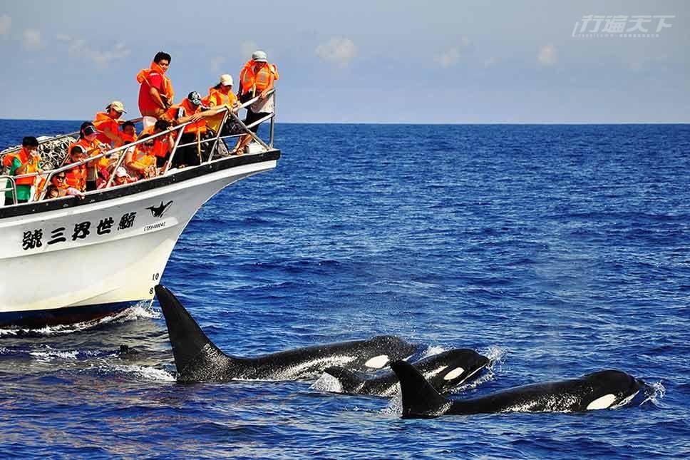 ▲台灣海域還出現過俗稱殺人鯨的虎鯨,讓賞鯨遊客驚呼不已。(圖片提供:鯨世界賞鯨)