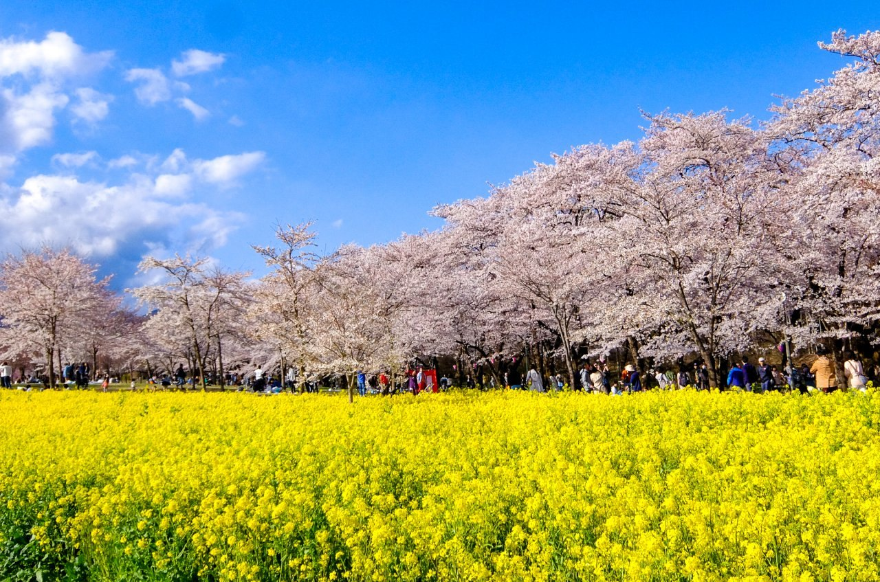 櫻花,千本櫻,日本,前橋,群馬,賞櫻