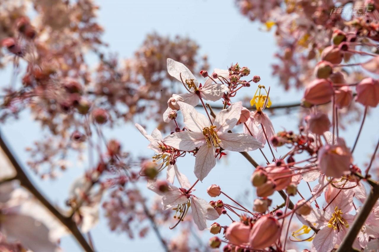 ▲近看花旗木花朵,在藍天映照下特別美嫩。