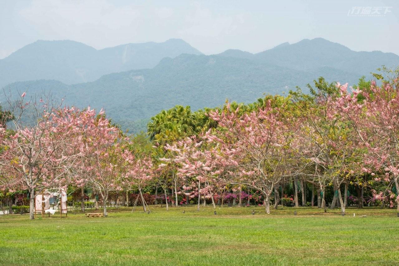 ▲10年前種植超過100株花旗木,每到春天就是一整片粉紅海。
