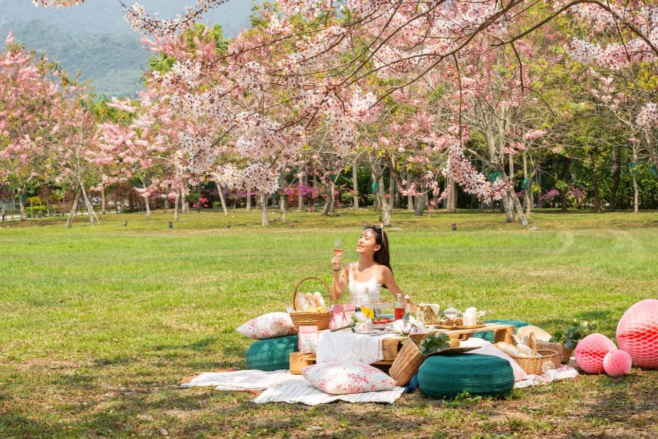 ▲趁著週末假日前往台東一睹平地櫻花丰采。