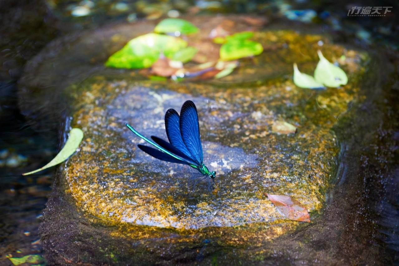 ▲藍色翅膀、細細身體有綠色金屬光澤的白痣珈蟌生活在乾淨溪流旁。