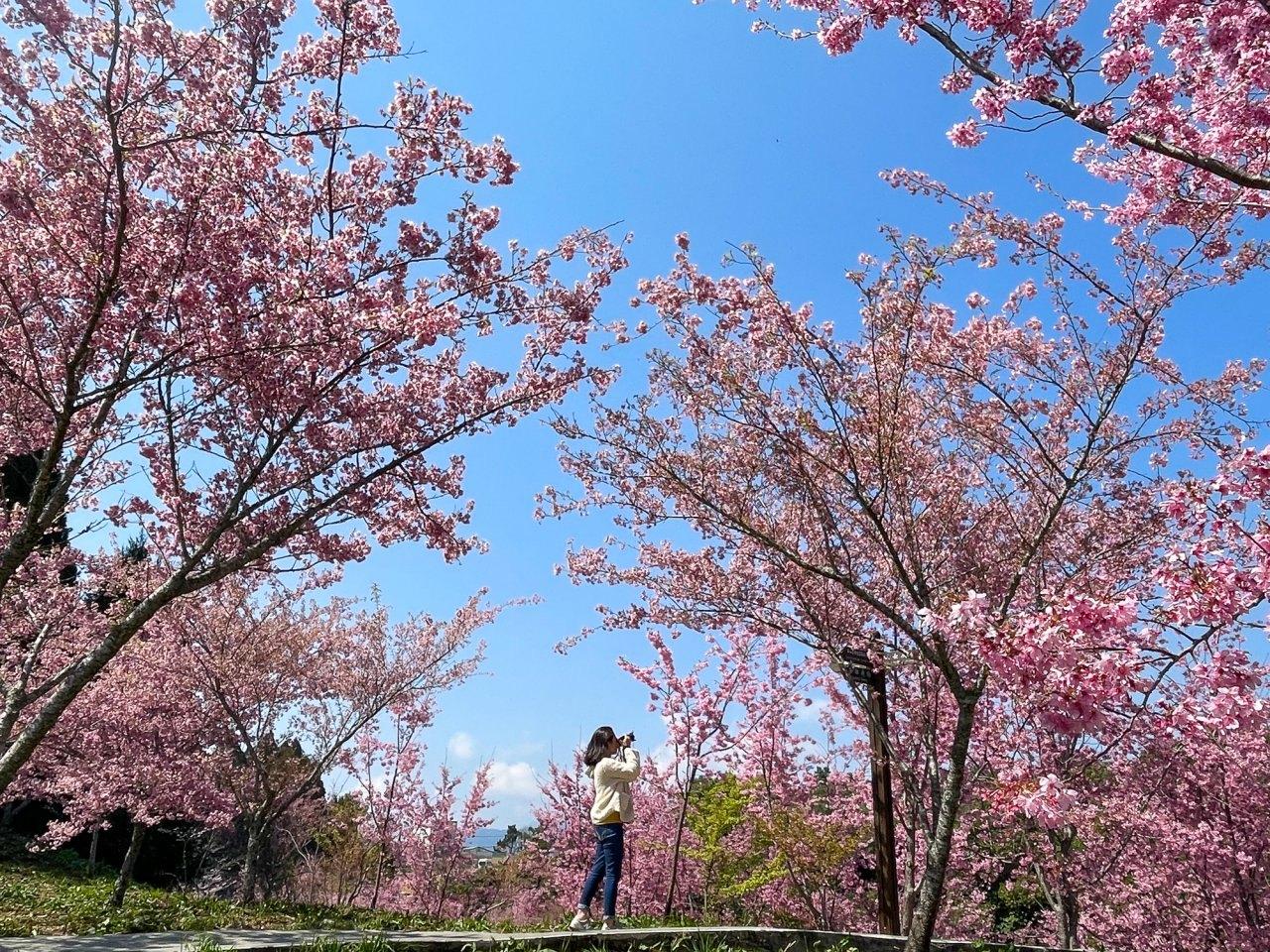 ▲福壽山農場千櫻園盛開一路到4月初,接續古邁茶園周邊櫻花也會持續至4 月底。