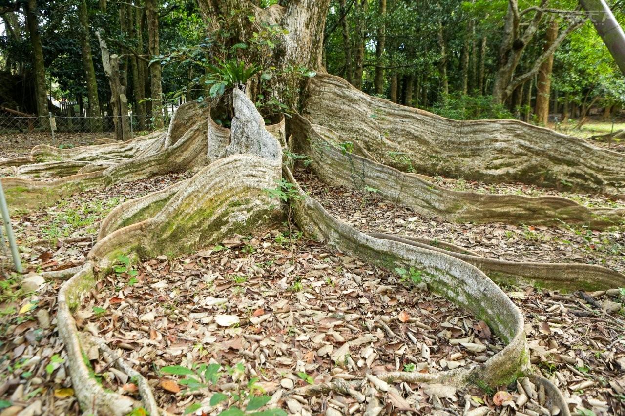 ▲台灣現有銀葉樹中量體最大的板根,主要有8個板根從樹幹向外延伸,最長達10公尺,最高達180公分。