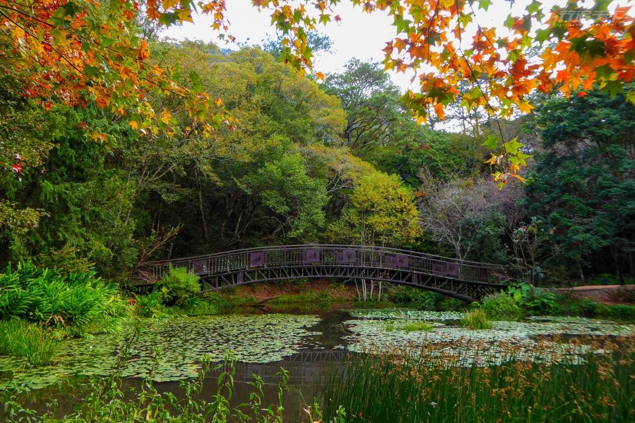 ▲佔地面積約0.5公頃的生態池與楓葉橋,是園區內豐富生態的家園。(圖/奧萬大國家森林遊樂區提供)