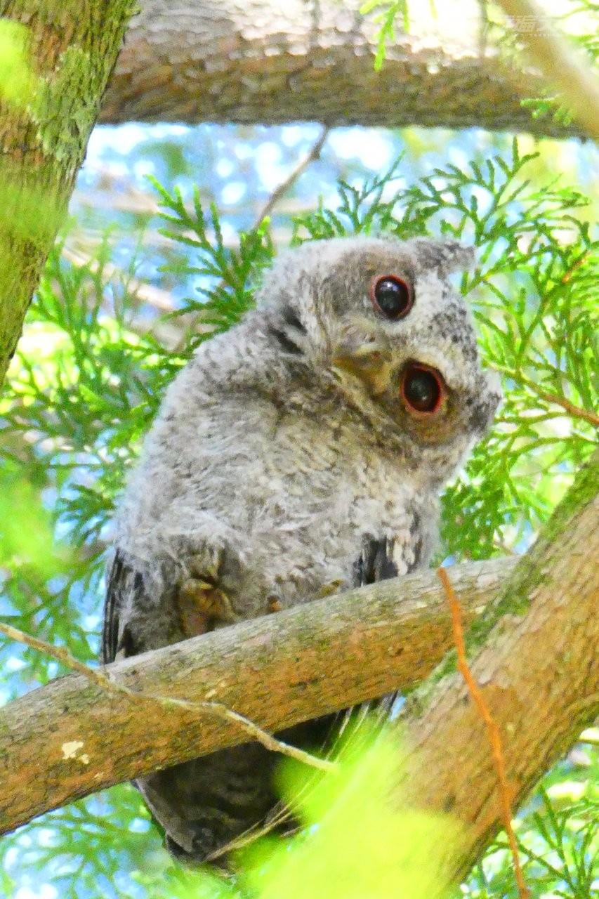 ▲園區內動植物生態豐富,運氣好就會遇到歪頭看著你的領角鴞。(圖/奧萬大國家森林遊樂區提供)