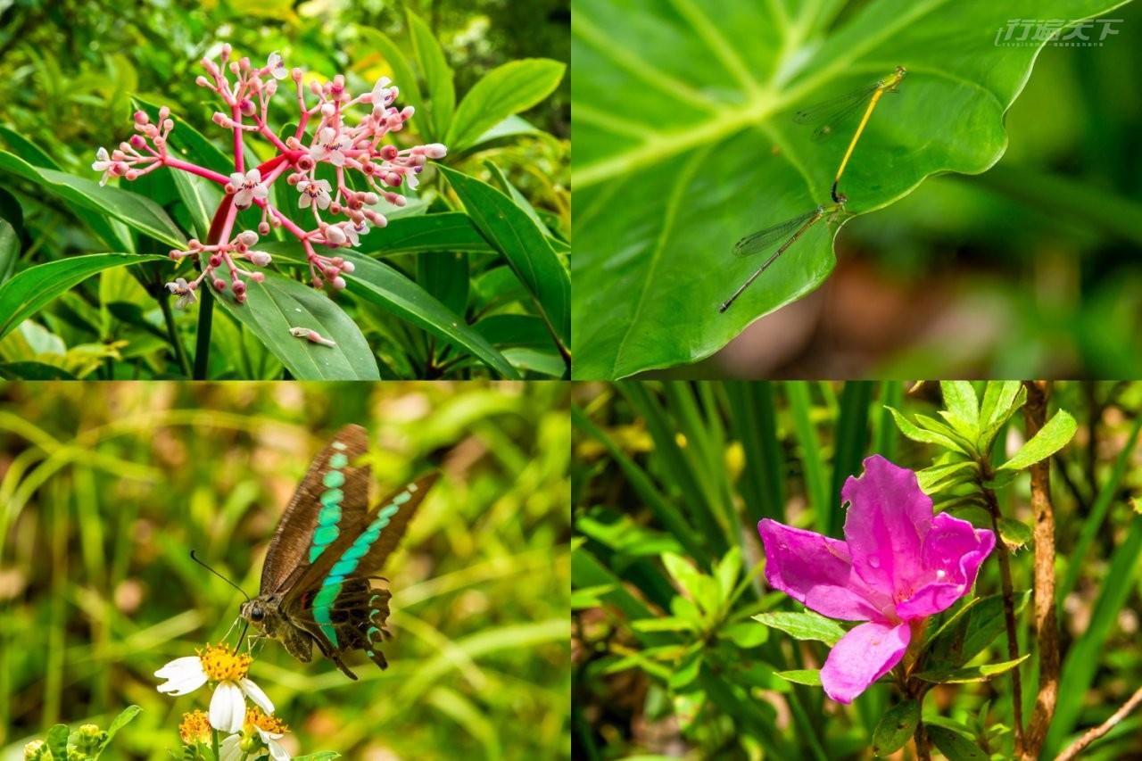 ▲豐富動植物生態,可瞧見台灣特有種植物野牧丹藤、豆娘、台灣原生種烏來杜鵑以及別名青斑鳳蝶的青鳳蝶。