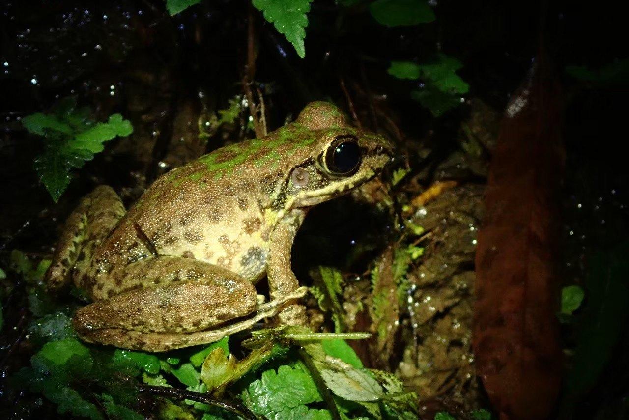 ▲「夜間觀察」可以觀察到許多環肥燕瘦的兩棲類生物。
