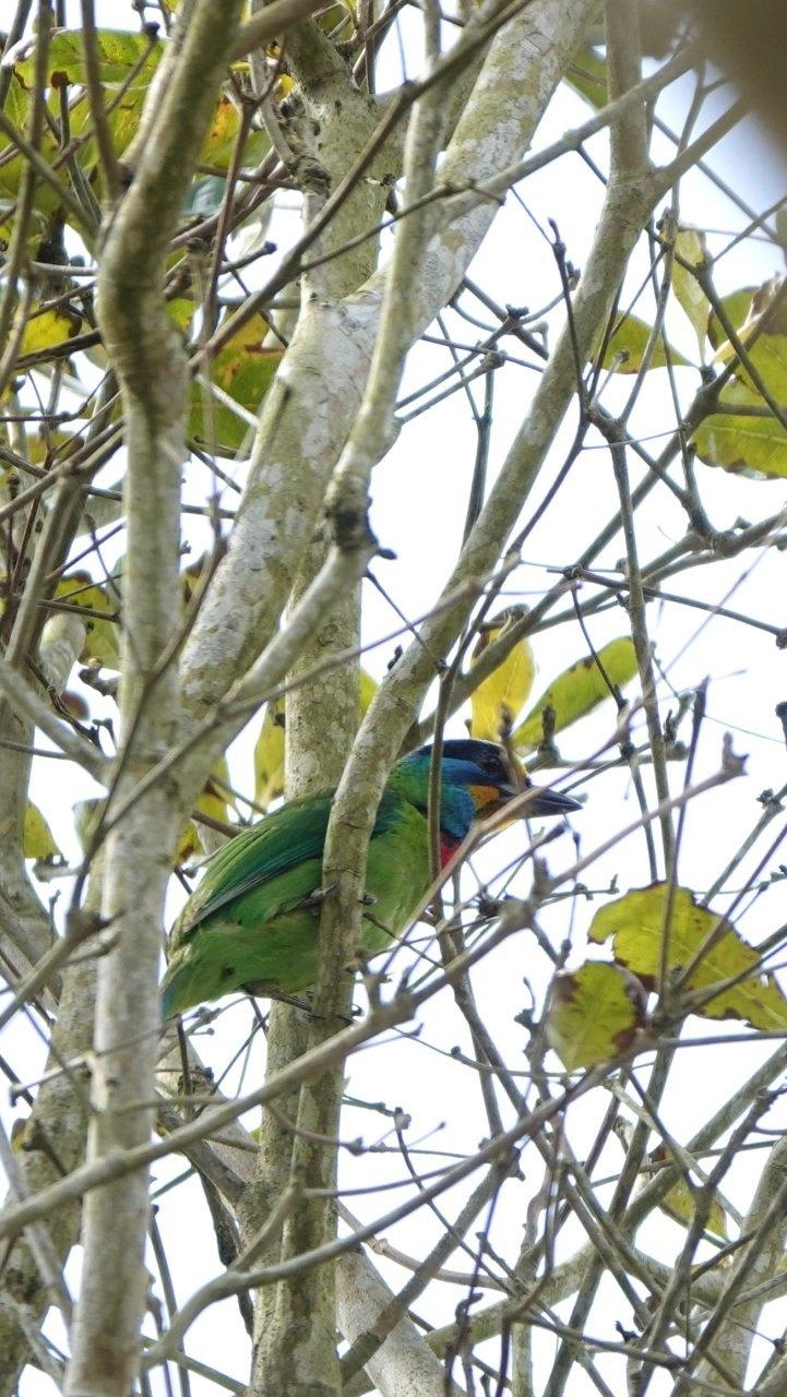 ▲在鯉魚潭很容易觀察到豐富的鳥類,包括台灣特有種五色鳥。